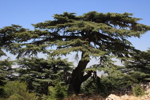 CEDRO DEL LIBANO-BAROUK.